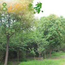 厂家直销浓郁芳香防沙高大雄伟香樟树  小花珠多功能常绿乔木