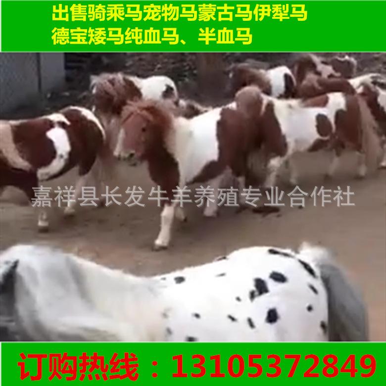 纯进口的小宠物马价钱 在中国可以买到纯进口的矮马 设特兰矮马