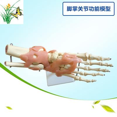 成人脚掌关节功能模型 1:1脚骨模型医学教具 带韧带教学模型