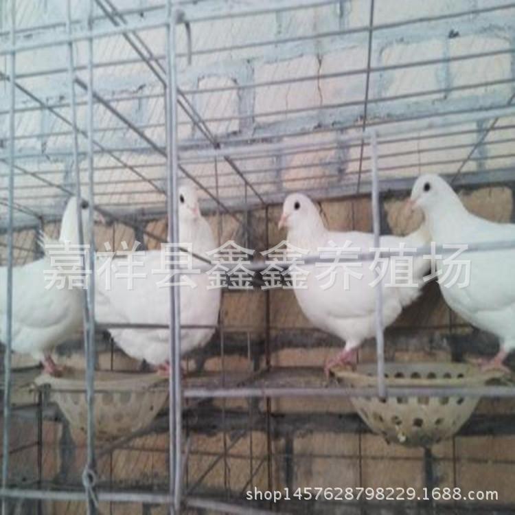 美国落地王价格 六个月的种鸽白羽王价格 出售肉鸽 乳鸽 广场鸽