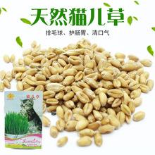 猫草种子 去毛球薄荷零食小麦种16g发芽率高宠物调理肠胃营养
