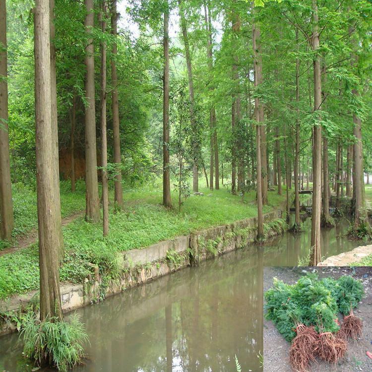 水杉树苗 水杉苗木 水杉盆景盆栽苗 金叶水杉 刺杉杉木柳杉批发