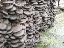 出售优质蘑菇菌包平菇菌棒大批量出售高产量食用菌菌袋
