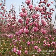 基地批发紫玉兰树苗 风景树紫玉兰苗 直径1-5公分 观花造型树