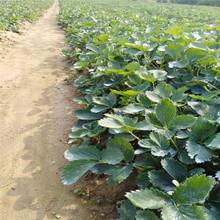 妙香7号草莓苗 草莓新品种 产量高 硬果草莓品种 草莓原种苗