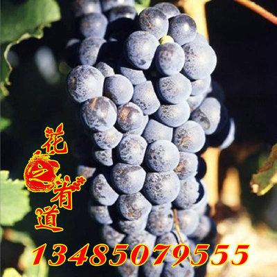 夏黑紫皇紫乳无核葡萄苗 阳台盆栽果树苗南方北方庭院种植包邮