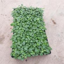 厂家批发鸭脚木种苗家庭园艺小盆栽植物正品四季常青鹅掌柴热销