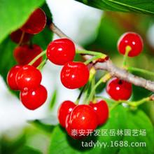 果树基地直销优质 矮化 嫁接可盆栽大樱桃 价格优 品种全 规格齐