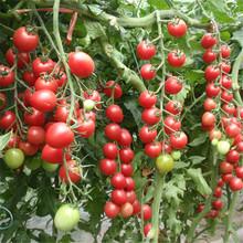 超甜圣女果种子苗千禧樱桃西红柿瀑布小番茄种子孑四季盆栽蔬菜苗