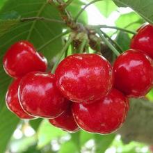 矮化樱桃树苗根系好丰产?#30830;?#27185;桃树苗可现挖现卖量大优惠樱桃树苗