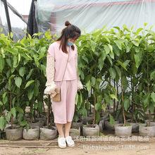 批發芳香植物 白蘭花盆栽樹苗 濃香花卉 客廳綠植 四季長青苗木