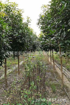 低价格批发供应200天开花高单干1.5-1.8米分杈日香桂花种苗绿化苗