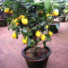批发香水青柠檬树 黄柠檬树 庭院阳台柠檬盆栽水果果树苗 当年结