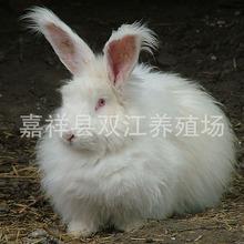 安哥拉兔兔毛价格_【长毛兔兔毛价格】_长毛兔兔毛价格品牌/图片/价格_长毛兔兔毛 ...