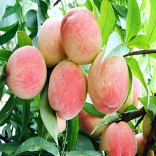 供应 桃树苗 五月红桃苗 早熟品种 南北方种植 盆栽地栽苗