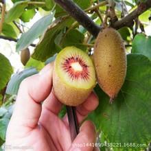 基地直销红心猕猴桃树苗 嫁接猕猴桃批发 果树苗木红心奇异果树苗