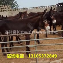 肉驴养殖场,肉驴苗价格,出售德州驴 三粉驴乌 头驴驴驹,包运输