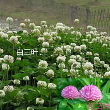 白花三叶草种子红三叶草籽进口种子批发幸运草种子工程绿化心叶草