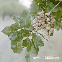盆栽地栽水果坚果正宗开心果果绿仁果树苗当年结果南北方种植