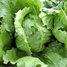 冰山结球生菜种子 圆生菜 西生菜 叶用结球莴苣 阳台盆栽蔬菜种子