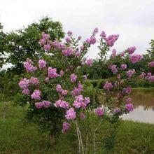 批发红花紫薇 美国红火箭紫薇小树苗 公园小区美化 观花乔木