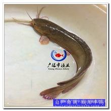 土塘虱魚苗 滑哥魚苗 魚塘養殖魚苗 大量批發出售