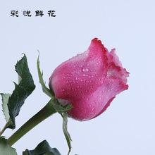 [魅影玫瑰花]云南昆明鲜花批发植物室内外插花居家装饰品花卉送礼