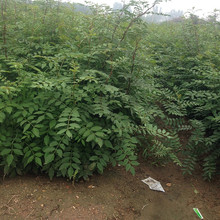 现货供应花椒苗 多品种可选1-2年苗木九叶青大红袍花椒苗