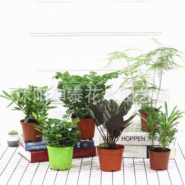 盆栽植物桌面室内阳台绿植花卉盆栽四季常青植物基地直销批发零售
