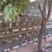 落地王肉鸽种鸽出售 鸽子蛋价格 乳鸽多少钱 优质肉鸽供应商