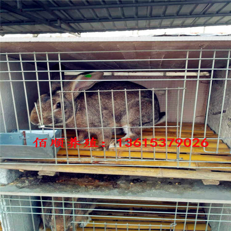 江西有卖杂交野兔的吗  伊拉肉兔兔苗种兔多少钱