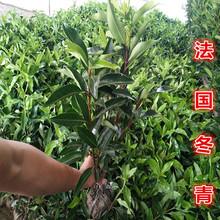 法国冬青珊瑚树法青规格30-200常绿灌木黄杨耐寒道路绿篱围墙篱笆