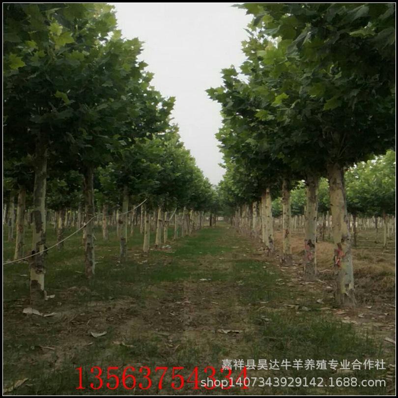 15公分20公分截杆法桐价格悬铃木法国梧桐树价格 18公分法桐价格