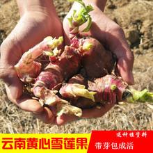 天山雪莲果种苗新鲜雪莲果种子黄心雪莲果种球现挖雪莲果种子