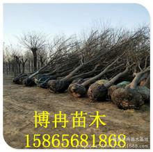胸径12cm国槐树价格 12公分土球全冠精品国槐树报价