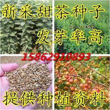 新采甜茶种子 蒙山甜茶种子 嫁接苹果北美海棠西府海棠专用砧木