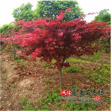 自产自销 嫁接日本红枫苗 日本红枫树苗 日本红枫 三季红小苗