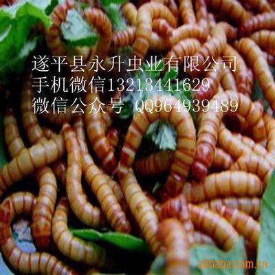 黄粉虫养殖(茂名 绵阳马鞍山眉山 梅州 牡丹江)养殖黄粉虫养殖