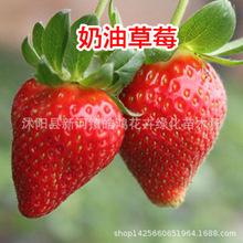 四季草莓苗 南北方陽臺種植當年結果樹苗奶油紅顏草莓種苗秧盆栽