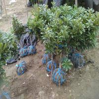 Наземная посадка, Dongkui, саженец плодов Yangmei, сорт прямых продаж, двухлетнее выращивание черный Древесный уголь Ян Слива садовая зеленая рассада
