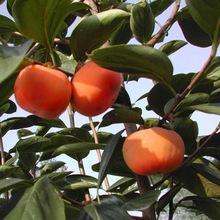 柿子果树苗 富有甜柿苗 嫁接日本脆甜柿子可盆栽地栽当年结果树苗