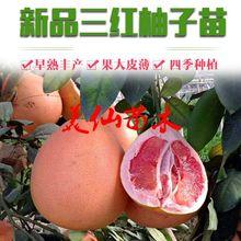 红心柚子树苗三红蜜柚果树苗四季水果苗南方北方阳台盆栽地栽种植