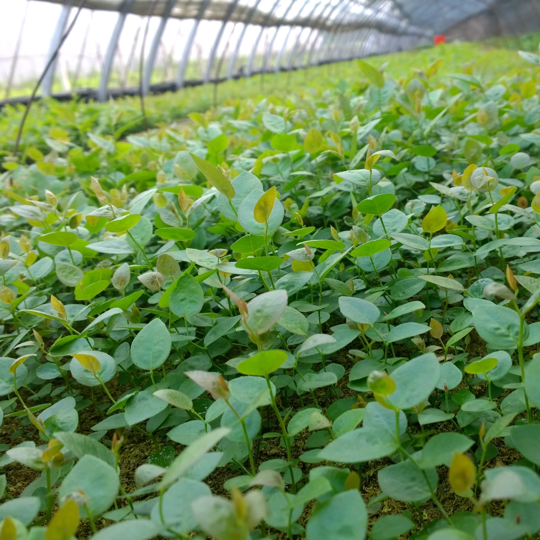 【丹东北林】基地批发蓝莓苗果树南北高新品种组培苔藓苗钵苗大苗
