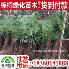 供應耐寒棕櫚 棕櫚苗 棕櫚樹北方耐寒棕櫚  棕櫚直銷