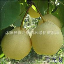 果农直销雪花梨树苗 嫁接梨子苗 丰水梨苗果树当年结果南北方种植
