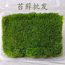 苔藓微景观 风干\新鲜白发藓小白发 配件素材 盒装 室内苔藓墙
