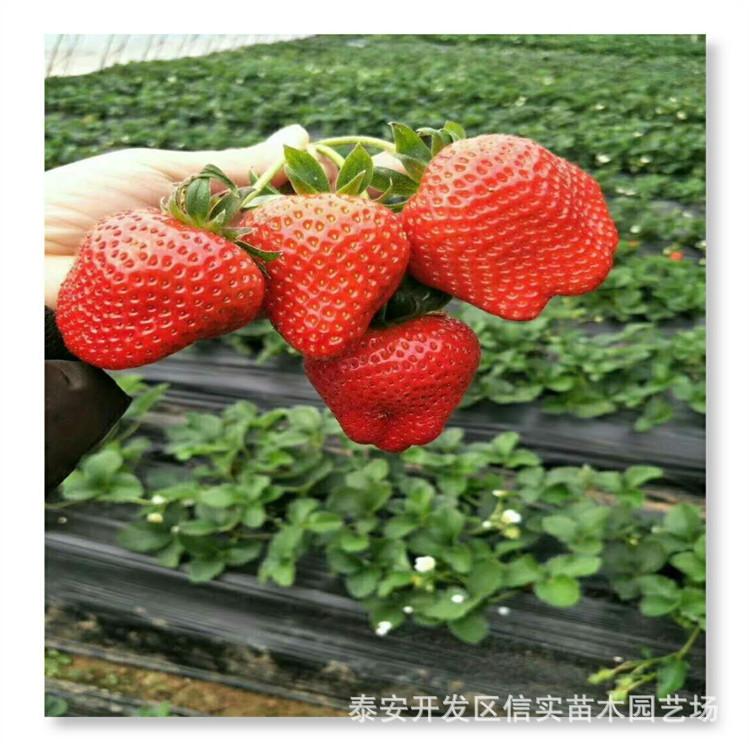 草莓妙香7號基地批發 新品種根系發達草莓 哪里草莓價格便宜