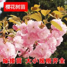 大山樱樱花苗 樱花小苗 日本重瓣红色樱花树苗 嫁接苗 量大批发