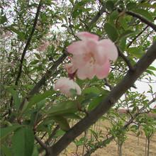 泰安低价供应垂丝海棠  海棠价格  绿化苗基地有苗 厂家直销
