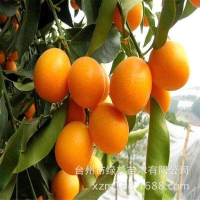 批发竞博体育APP嫁接优质正宗原产地一年脆皮金桔苗 金桔树苗 金橘种苗